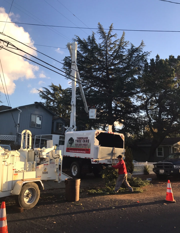 Timberland Tree Care trims a tree in Danville using a cherry picker