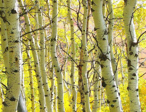 How to Save a Dying Aspen Tree