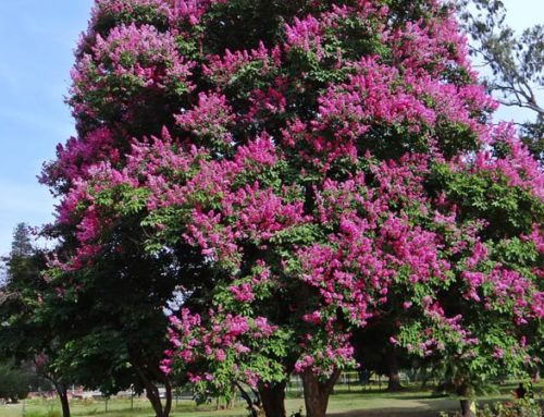 The Best Drought Tolerant Trees for Northern California